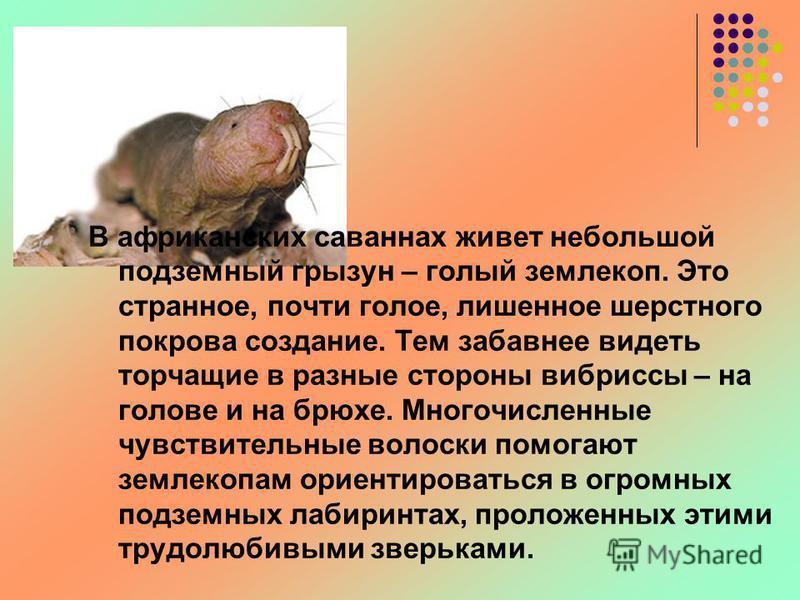 В африканских саваннах живет небольшой подземный грызун – голый землекоп. Это странное, почти голое, лишенное шерстного покрова создание. Тем забавнее видеть торчащие в разные стороны вибриссы – на голове и на брюхе. Многочисленные чувствительные вол