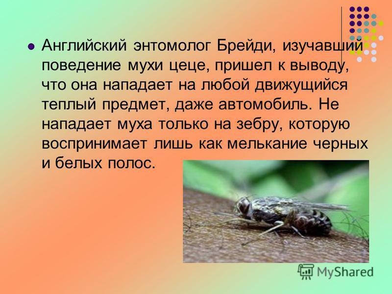 Английский энтомолог Брейди, изучавший поведение мухи цеце, пришел к выводу, что она нападает на любой движущийся теплый предмет, даже автомобиль. Не нападает муха только на зебру, которую воспринимает лишь как мелькание черных и белых полос.