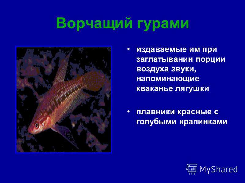 Ворчащий гурами издаваемые им при заглатывании порции воздуха звуки, напоминающие кваканье лягушки плавники красные с голубыми крапинками