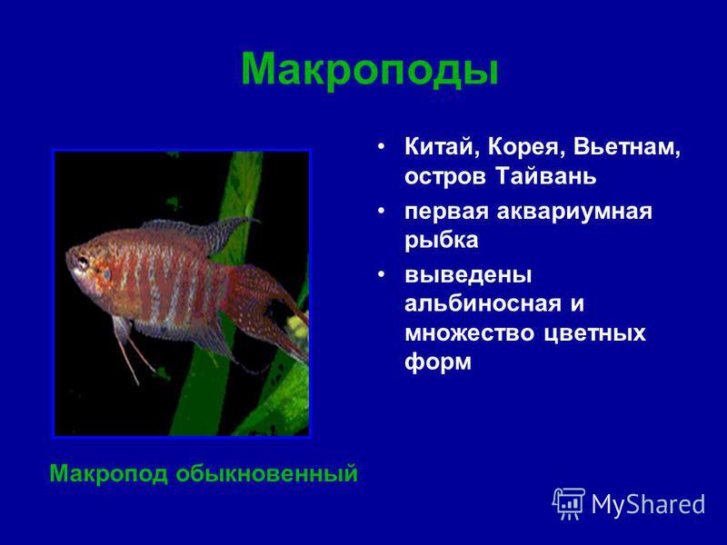 Макроподы Китай, Корея, Вьетнам, остров Тайвань первая аквариумная рыбка выведены альбиносная и множество цветных форм Макропод обыкновенный