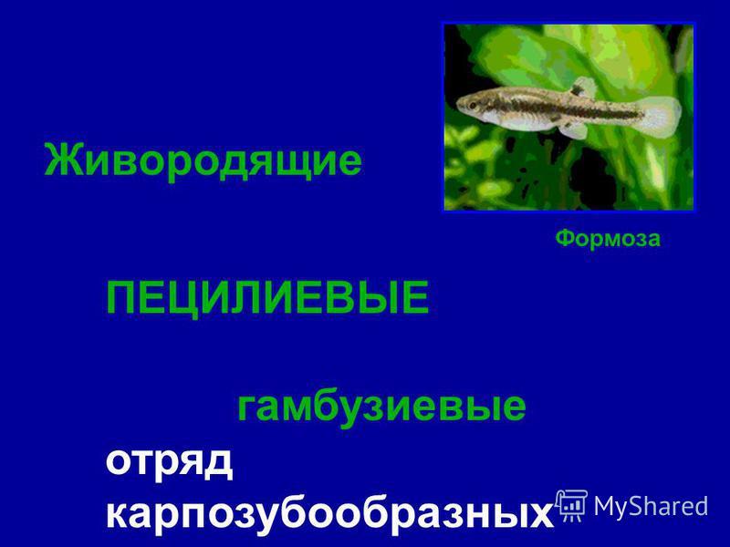Живородящие ПЕЦИЛИЕВЫЕ гамбузиевые отряд карпозубообразных Формоза