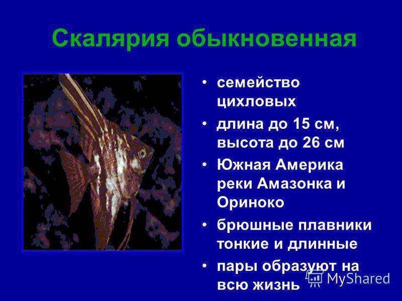 Скалярия обыкновенная семейство цикловых длина до 15 см, высота до 26 см Южная Америка реки Амазонка и Ориноко брюшные плавники тонкие и длинные пары образуют на всю жизнь