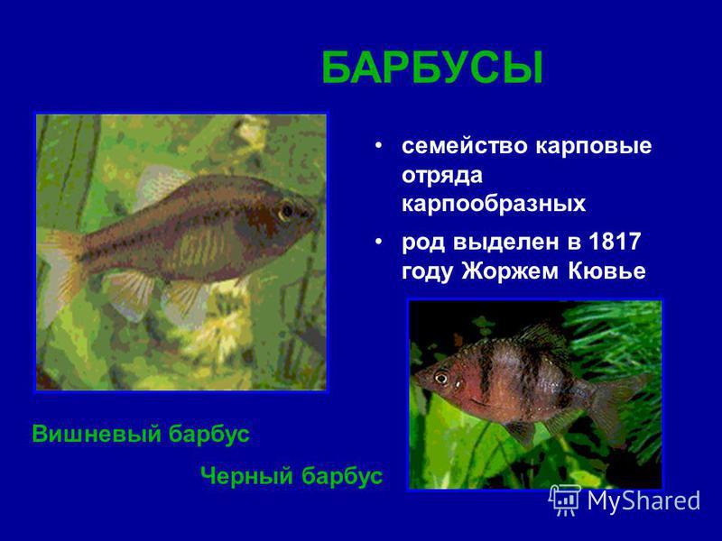 семейство карповые отряда карпообразных род выделен в 1817 году Жоржем Кювье Вишневый барбус БАРБУСЫ Черный барбус