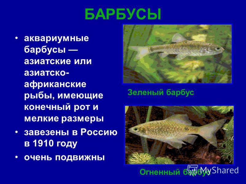БАРБУСЫ аквариумные барбусы азиатские или азиатско- африканские рыбы, имеющие конечный рот и мелкие размеры завезены в Россию в 1910 году очень подвижны Зеленый барбус Огненный барбус