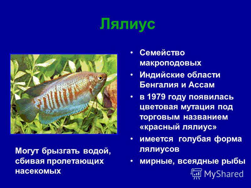 Семейство макроподовых Индийские области Бенгалия и Ассам в 1979 году появилась цветовая мутация под торговым названием «красный лялиус» имеется голубая форма лялиусов мирные, всеядные рыбы Лялиус Могут брызгать водой, сбивая пролетающих насекомых