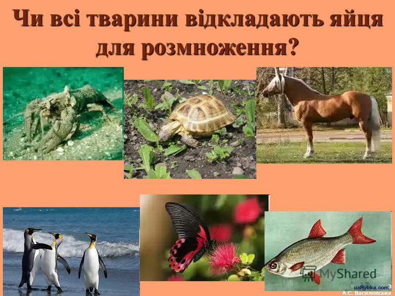 Чи всі тварини відкладають яйця для розмноження? 3 А.С. Василевська