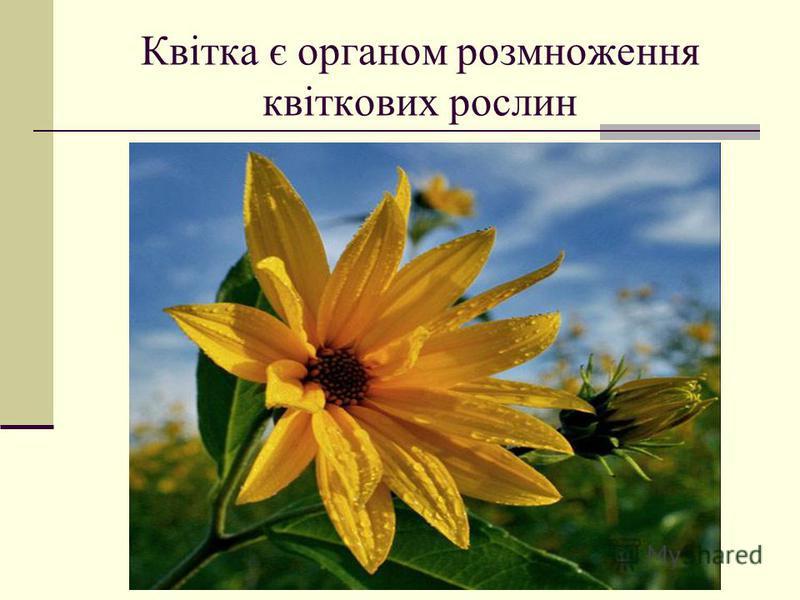 Квітка є органом розмноження квіткових рослин