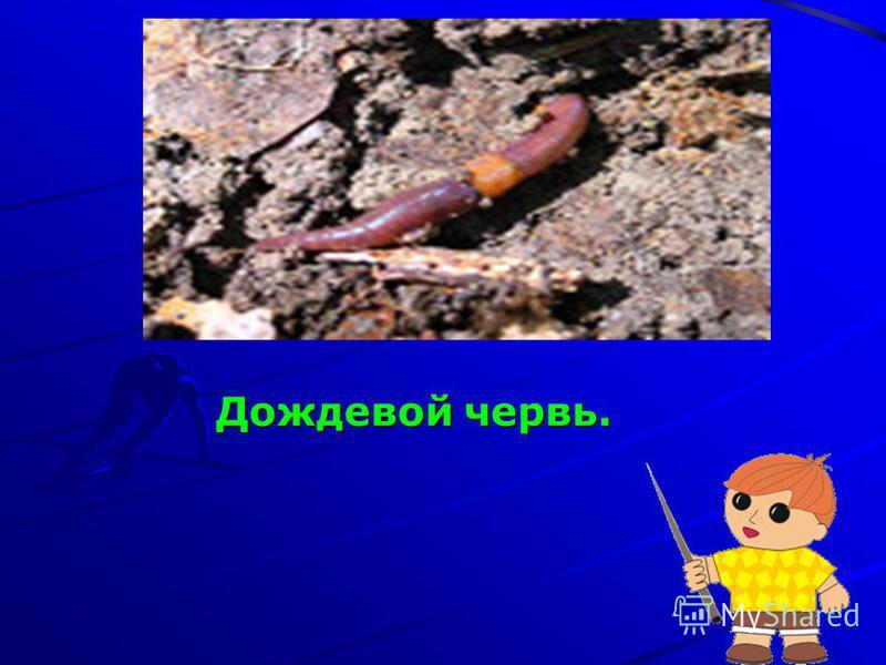 Дождевой червь. Дождевой червь.