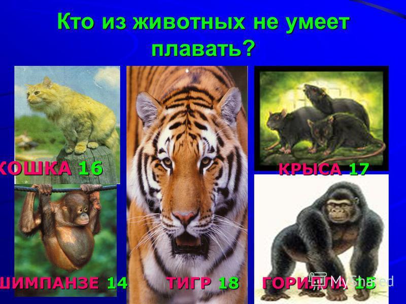 Кто из животных не умеет плавать? КОШКА 16 КРЫСА 17 ШИМПАНЗЕ 14 ТИГР 18 ГОРИЛЛА 15