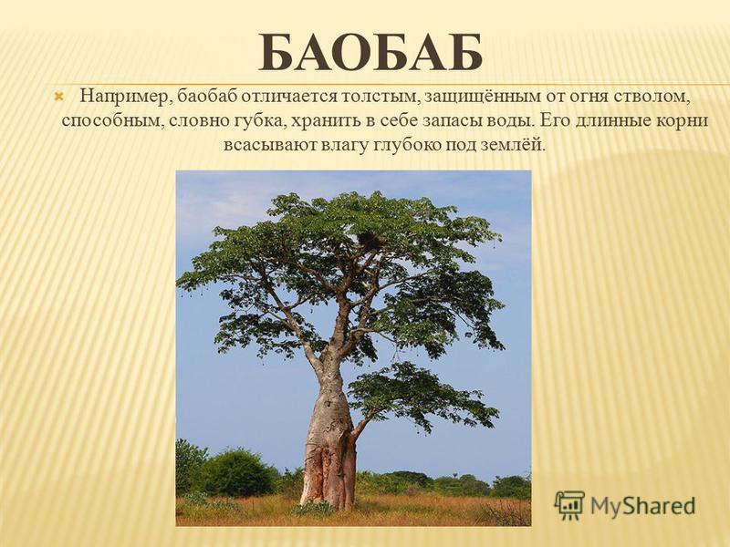БАОБАБ Например, баобаб отличается толстым, защищённым от огня стволом, способным, словно губка, хранить в себе запасы воды. Его длинные корни всасывают влагу глубоко под землёй.