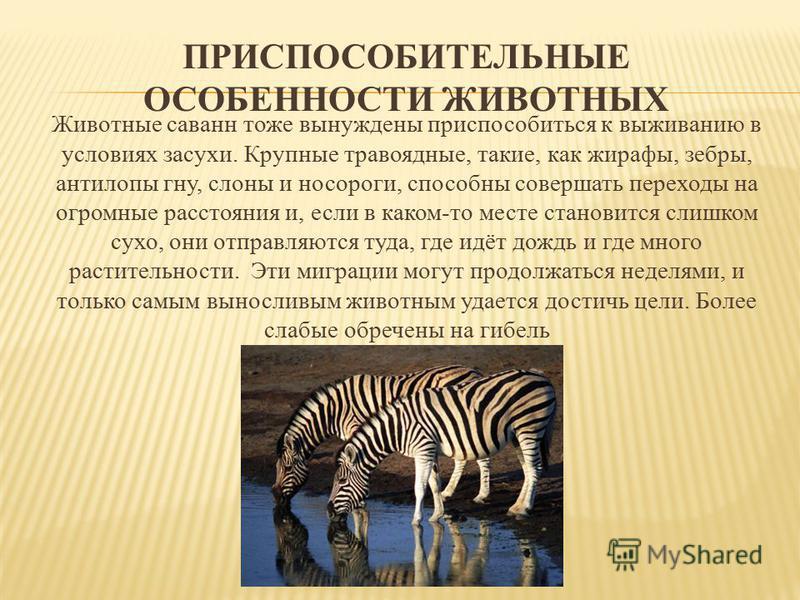 ПРИСПОСОБИТЕЛЬНЫЕ ОСОБЕННОСТИ ЖИВОТНЫХ Животные саванн тоже вынуждены приспособиться к выживанию в условиях засухи. Крупные травоядные, такие, как жирафы, зебры, антилопы гну, слоны и носороги, способны совершать переходы на огромные расстояния и, ес