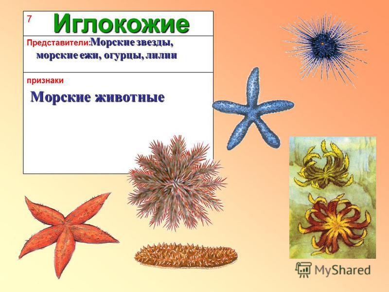 7 признаки Представители: Иглокожие Морские животные Морские звезды, морские ежи, огурцы, лилии Морские звезды, морские ежи, огурцы, лилии