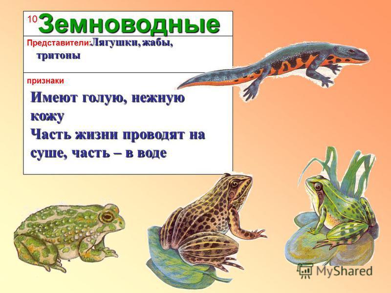 10 признаки Представители: Земноводные Имеют голую, нежную кожу Лягушки, жабы, тритоны Лягушки, жабы, тритоны Часть жизни проводят на суше, часть – в воде