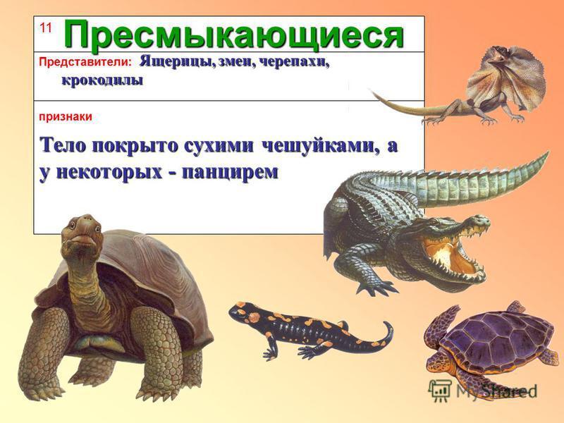 11 признаки Представители: Пресмыкающиеся Тело покрыто сухими чешуйками, а у некоторых - панцирем Ящерицы, змеи, черепахи, крокодилы Ящерицы, змеи, черепахи, крокодилы