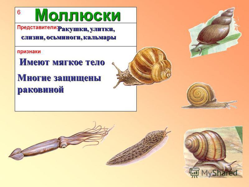 6 признаки Представители: Моллюски Имеют мягкое тело Многие защищены раковиной Ракушки, улитки, слизни, осьминоги, кальмары Ракушки, улитки, слизни, осьминоги, кальмары