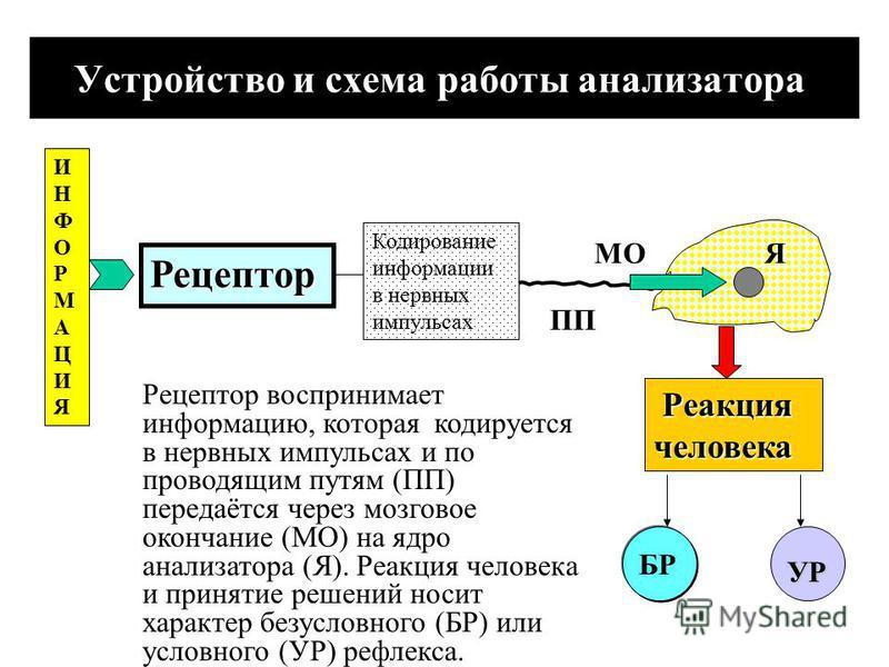 Устройство анализатора ЦНС ПНС Изменение условий окружающей среды и состояние внутренней среды человека воспринимается нервной системой, которая регулирует процессы жизнедеятельности. Нервная система включает центральную нервную систему (ЦНС), в кото