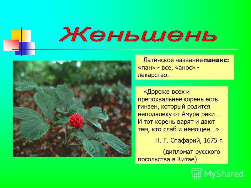 Латинское название панакс: «пан» - все, «анос» - лекарство. «Дороже всех и препохвальнее корень есть гензен, который родится неподалеку от Амура реки… И тот корень варят и дают тем, кто слаб и немощен…» Н. Г. Спафарий, 1675 г. (дипломат русского посо