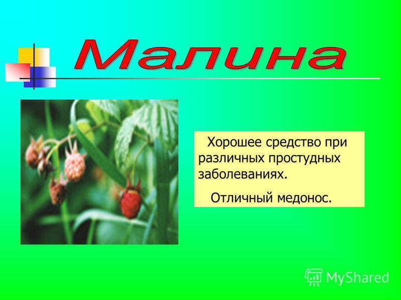 Хорошее средство при различных простудных заболеваниях. Отличный медонос.