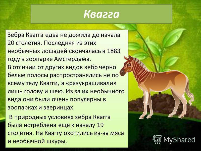 Квагга Зебра Квагга едва не дожила до начала 20 столетия. Последняя из этих необычных лошадей скончалась в 1883 году в зоопарке Амстердама. В отличии от других видов зебр черно белые полосы распространялись не по всему телу Квагги, а «разукрашивали»
