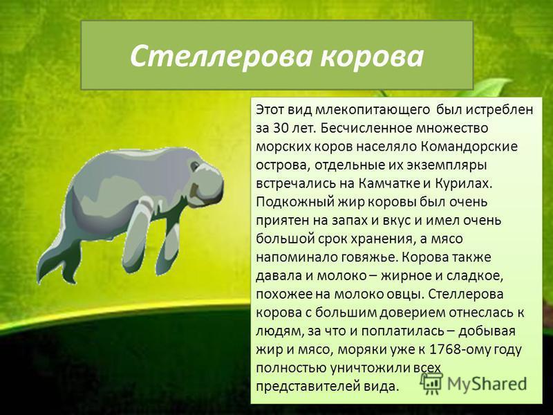 Стеллерова корова Этот вид млекопитающего был истреблен за 30 лет. Бесчисленное множество морских коров населяло Командорские острова, отдельные их экземпляры встречались на Камчатке и Курилах. Подкожный жир коровы был очень приятен на запах и вкус и
