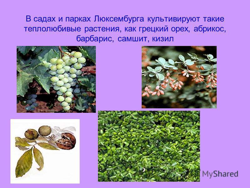 В садах и парках Люксембурга культивируют такие теплолюбивые растения, как грецкий орех, абрикос, барбарис, самшит, кизил