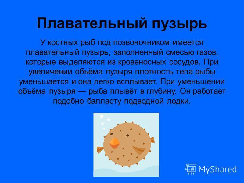 Плавательный пузырь У костных рыб под позвоночником имеется плавательный пузырь, заполненный смесью газов, которые выделяются из кровеносных сосудов. При увеличении объёма пузыря плотность тела рыбы уменьшается и она легко всплывает. При уменьшении о