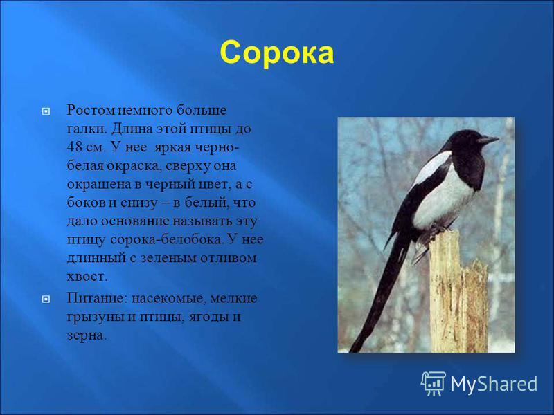 Сорока Ростом немного больше галки. Длина этой птицы до 48 см. У нее яркая черно- белая окраска, сверху она окрашена в черный цвет, а с боков и снизу – в белый, что дало основание называть эту птицу сорока-белобока. У нее длинный с зеленым отливом хв