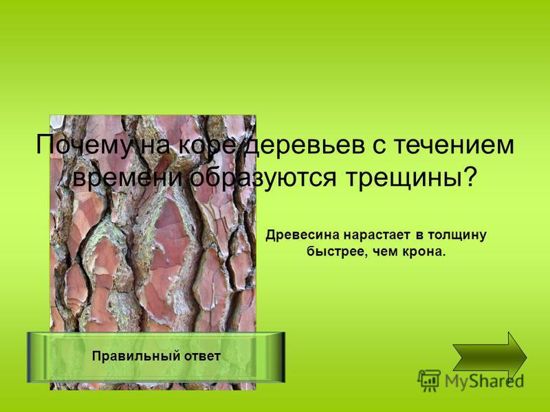 Почему на коре деревьев с течением времени образуются трещины? Правильный ответ Древесина нарастает в толщину быстрее, чем крона.
