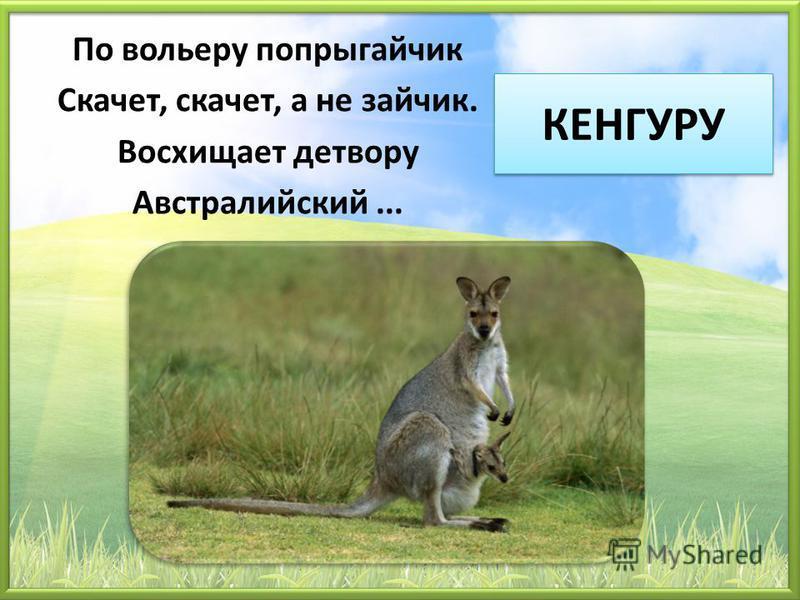 КЕНГУРУ По вольеру попрыгайчик Скачет, скачет, а не зайчик. Восхищает детвору Австралийский...