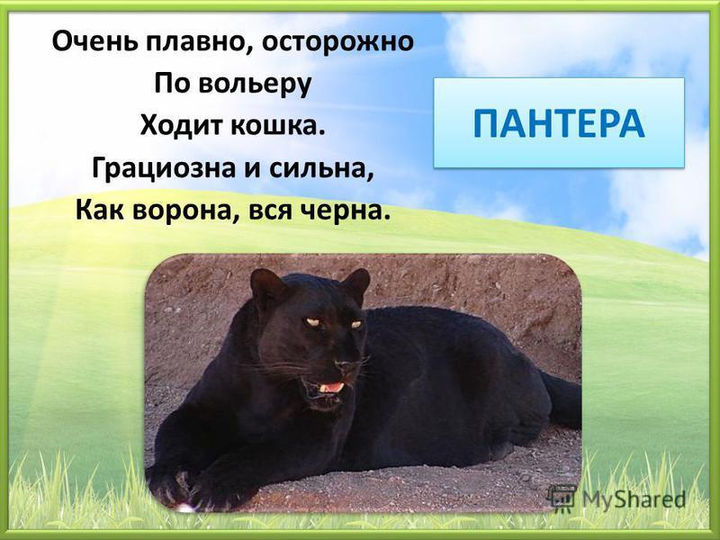 ПАНТЕРА Очень плавно, осторожно По вольеру Ходит кошка. Грациозна и сильна, Как ворона, вся черна.