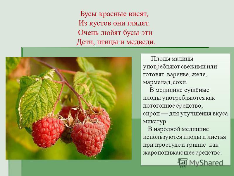 Бусы красные висят, Из кустов они глядят. Очень любят бусы эти Дети, птицы и медведи. Плоды малины употребляют свежими или готовят варенье, желе, мармелад, соки. В медицине сушёные плоды употребляются как потогонное средство, сироп для улучшения вкус