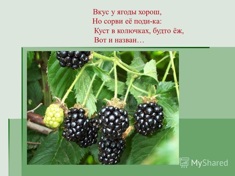 Вкус у ягоды хорош, Но сорви её поди-ка: Куст в колючках, будто ёж, Вот и назван…