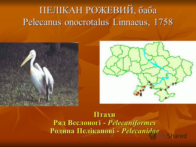 ПЕЛІКАН РОЖЕВИЙ, баба Pelecanus onocrotalus Linnaeus, 1758 Птахи Ряд Веслоногі - Pelecaniformes Родина Пеліканові - Pelecanidae