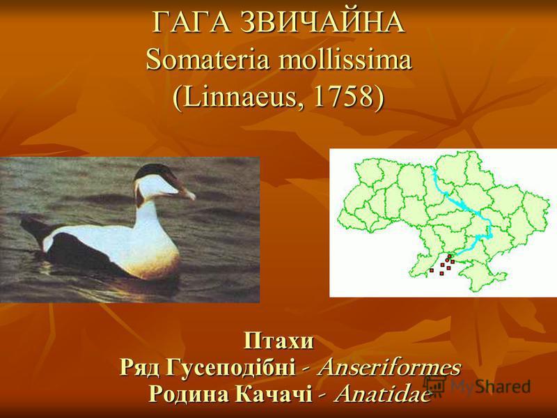 ГАГА ЗВИЧАЙНА Somateria mollissima (Linnaeus, 1758)