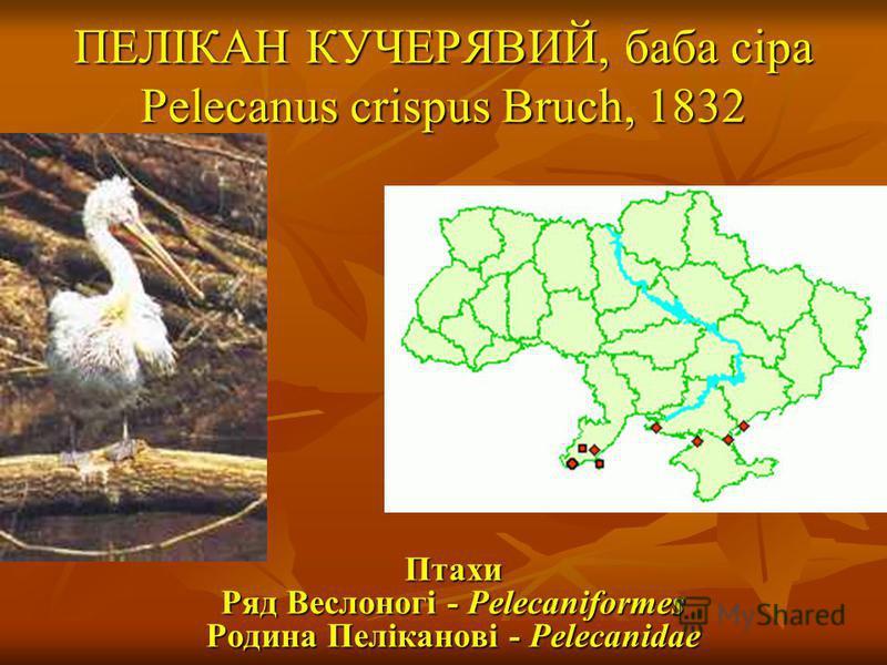 ПЕЛІКАН КУЧЕРЯВИЙ, баба сіра Pelecanus crispus Bruch, 1832 Птахи Ряд Веслоногі - Pelecaniformes Родина Пеліканові - Pelecanidae Птахи Ряд Веслоногі - Pelecaniformes Родина Пеліканові - Pelecanidae