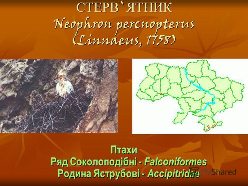 СТЕРВ`ЯТНИК Neophron percnopterus (Linnaeus, 1758)