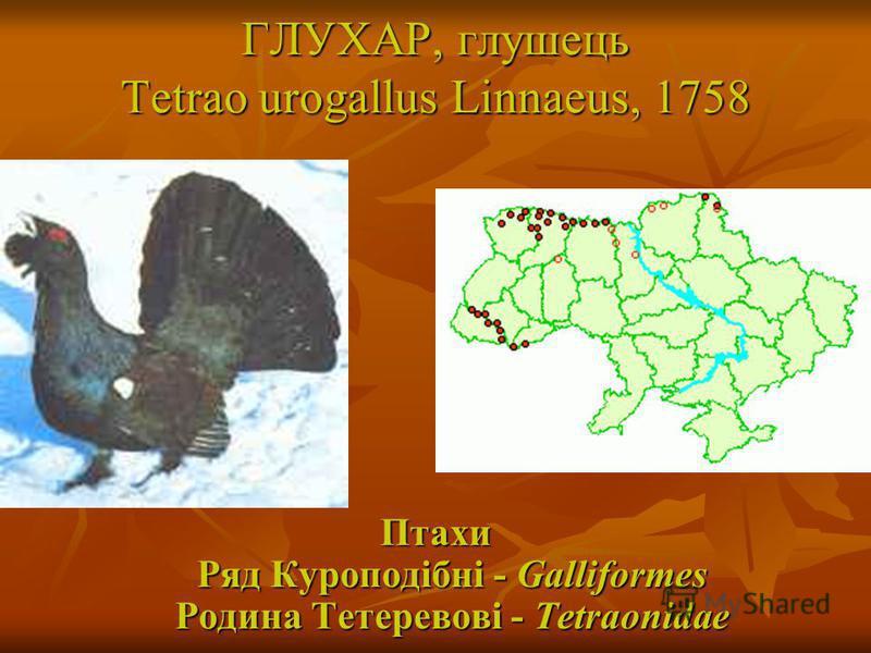 ГЛУХАР, глушець Tetrao urogallus Linnaeus, 1758 Птахи Ряд Куроподібні - Galliformes Родина Тетеревові - Tetraonidae