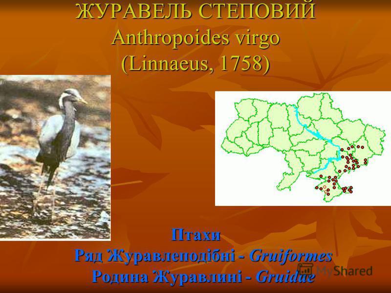 ЖУРАВЕЛЬ СТЕПОВИЙ Anthropoides virgo (Linnaeus, 1758) Птахи Ряд Журавлеподібні - Gruiformes Родина Журавлині - Gruidae