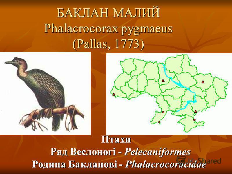 БАКЛАН МАЛИЙ Phalacrocorax pygmaeus (Pallas, 1773) Птахи Ряд Веслоногі - Pelecaniformes Родина Бакланові - Phalacrocoracidae