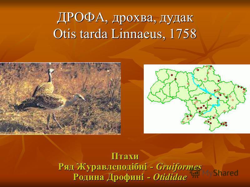 ДРОФА, дрохва, дудак Otis tarda Linnaeus, 1758 Птахи Ряд Журавлеподібні - Gruiformes Родина Дрофині - Otididae