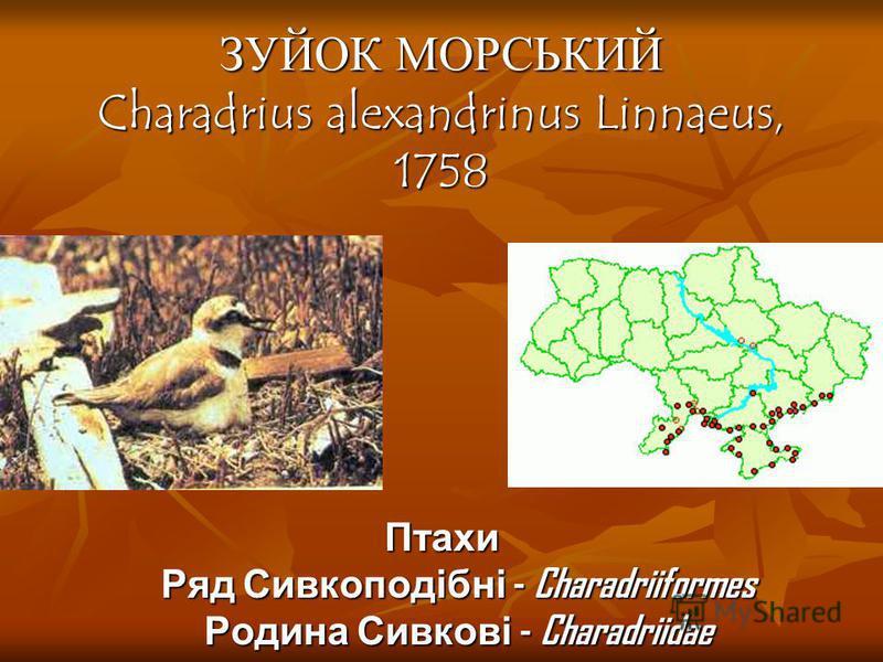 ЗУЙОК МОРСЬКИЙ Charadrius alexandrinus Linnaeus, 1758 Птахи Ряд Сивкоподібні - Charadriiformes Родина Сивкові - Charadriidae