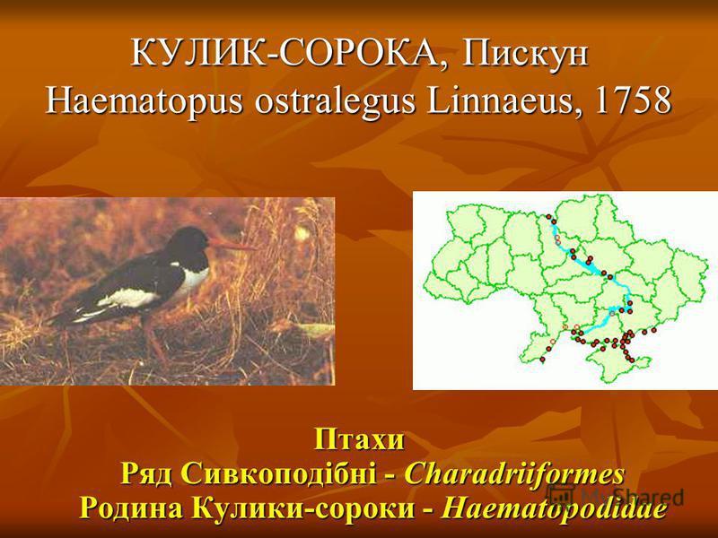 КУЛИК-СОРОКА, Пискун Haematopus ostralegus Linnaeus, 1758 Птахи Ряд Сивкоподібні - Charadriiformes Родина Кулики-сороки - Haematopodidae