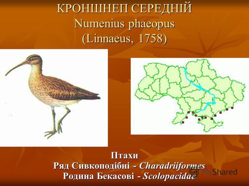 КРОНШНЕП СЕРЕДНІЙ Numenius phaeopus (Linnaeus, 1758) Птахи Ряд Сивкоподібні - Charadriiformes Родина Бекасові - Scolopacidae