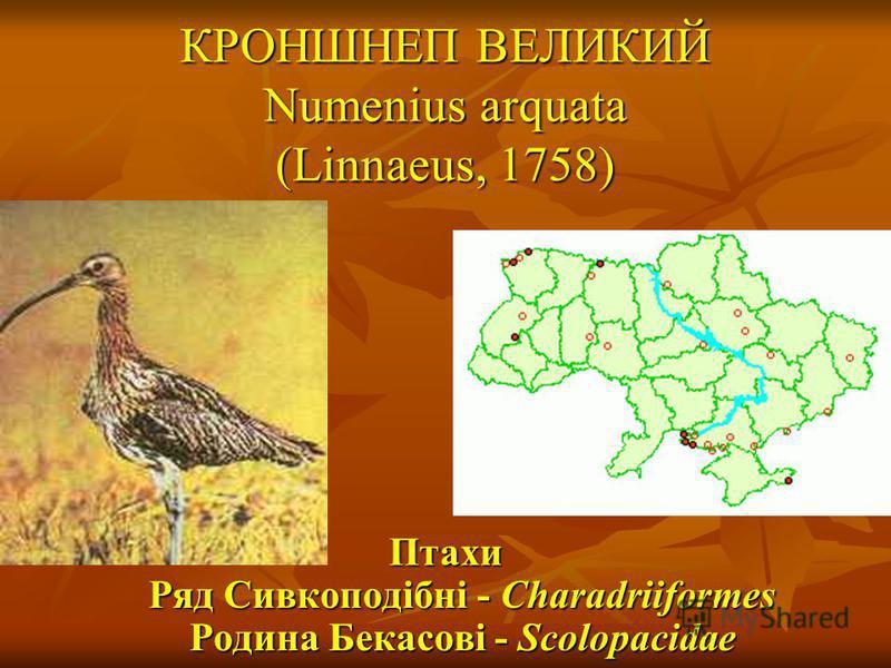 КРОНШНЕП ВЕЛИКИЙ Numenius arquata (Linnaeus, 1758) Птахи Ряд Сивкоподібні - Charadriiformes Родина Бекасові - Scolopacidae