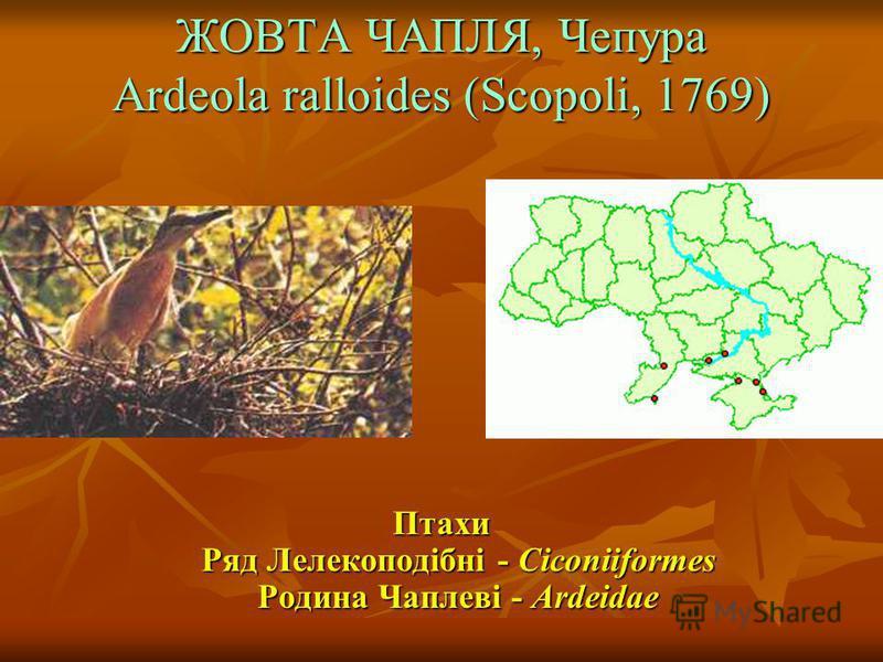 ЖОВТА ЧАПЛЯ, Чепура Ardeola ralloides (Scopoli, 1769) Птахи Ряд Лелекоподібні - Ciconiiformes Родина Чаплеві - Ardeidae