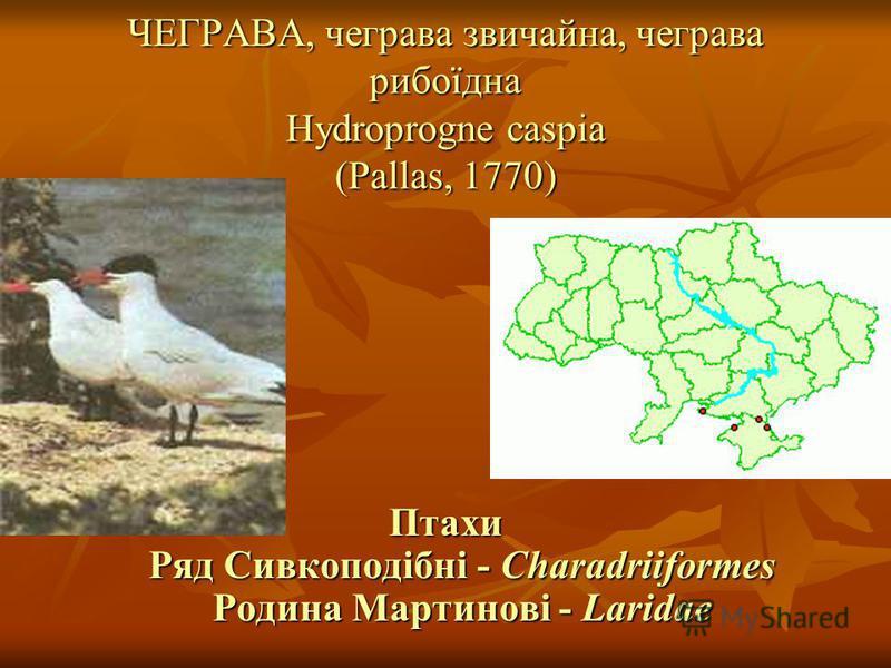 ЧЕГРАВА, чеграва звичайна, чеграва рибоїдна Hydroprogne caspia (Pallas, 1770) Птахи Ряд Сивкоподібні - Charadriiformes Родина Мартинові - Laridae