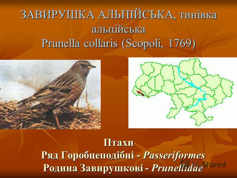 ЗАВИРУШКА АЛЬПІЙСЬКА, тинівка альпійська Prunella collaris (Scopoli, 1769) Птахи Ряд Горобцеподібні - Passeriformes Родина Завирушкові - Prunellidae