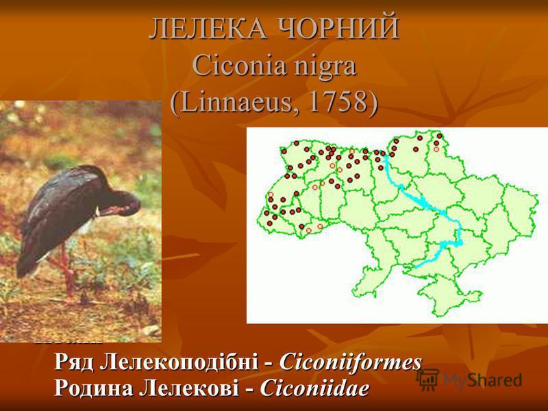 ЛЕЛЕКА ЧОРНИЙ Ciconia nigra (Linnaeus, 1758) Птахи Ряд Лелекоподібні - Ciconiiformes Родина Лелекові - Ciconiidae