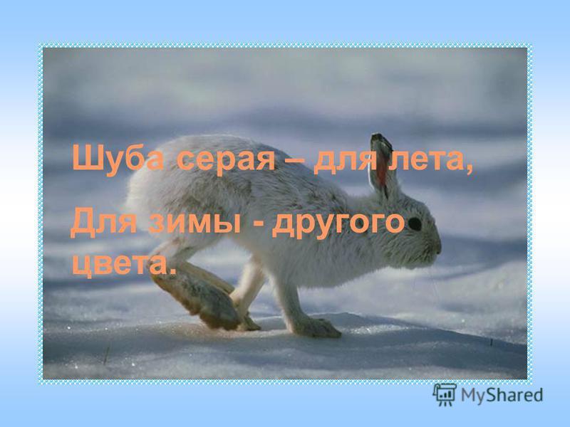 Шуба серая – для лета, Для зимы - другого цвета.