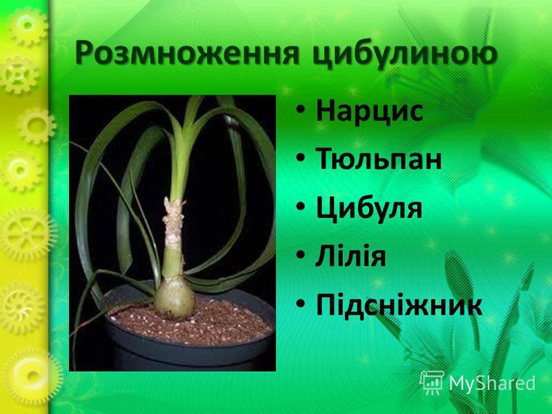 Розмноження цибулиною Нарцис Тюльпан Цибуля Лілія Підсніжник